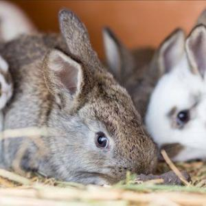 rabbit clinical care