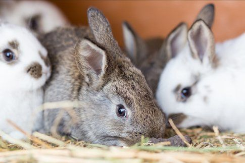 Young rabbits feeding straw in the cage. Small funny bunny Easter background