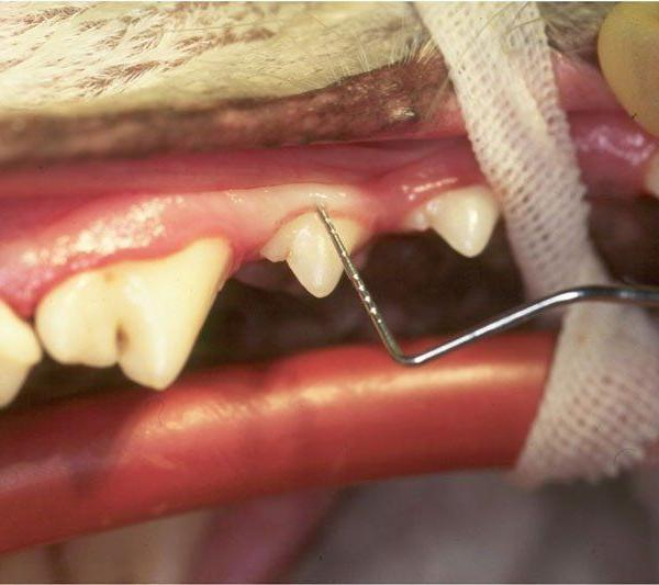 Examination-of-the-gingiva-using-a-periodontal-probe-in-a-dog