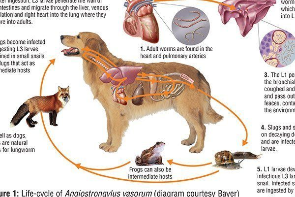 canine-lungworm