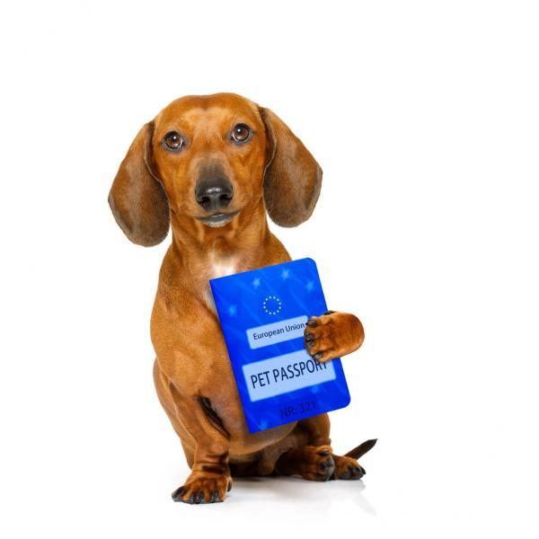dachshund sausage dog with european pet  passport , isolated on white background